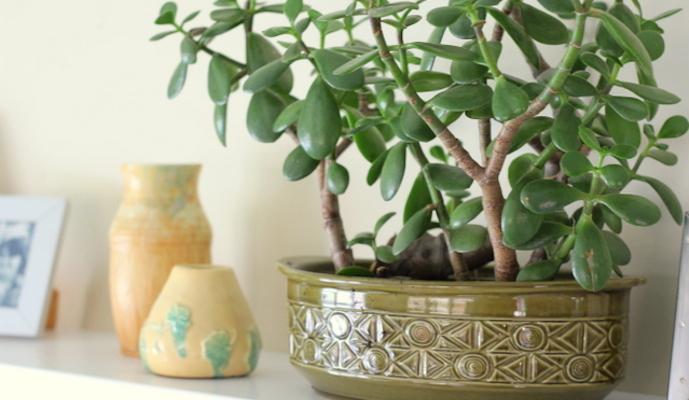 Jade Plant Brings Luck Feng Shui