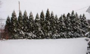 How To Protect Trees and Shrubs From Heavy Snow