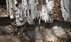 800px-Termite_damage.JPG