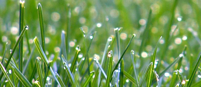 Lawn_grass-1-.jpg