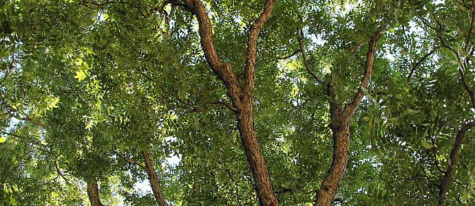 Pecan_tree_canopy_zilker.jpg