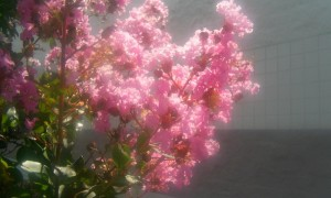 Pink_lagerstroemia_crape_myrtle_flowers_in_the_sunlight.jpg
