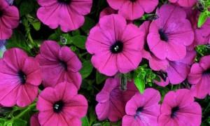 petunias.jpg