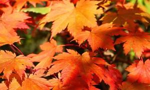 Acer_japonicum_Vitifolium_JPG1fu.jpg