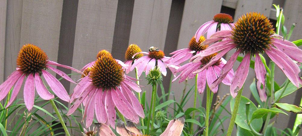 Texas Flower Gardens Five Plants That Flourish In Dfw