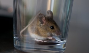mouse_in_a_glass.jpg