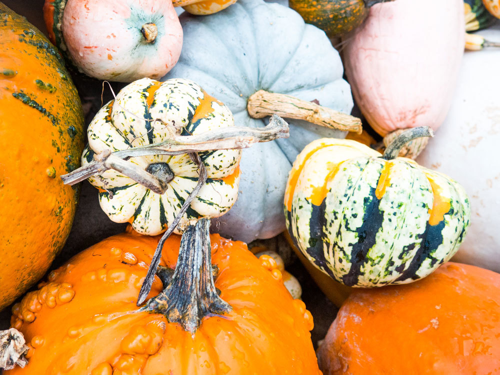 Munchkin Pumpkins