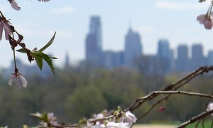 Cherry Blossoms and Philadelphia Skyline
