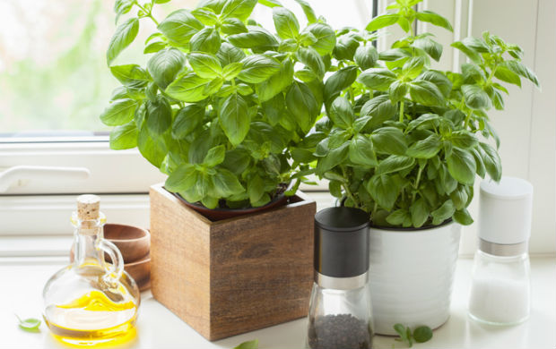 houseplants - basil