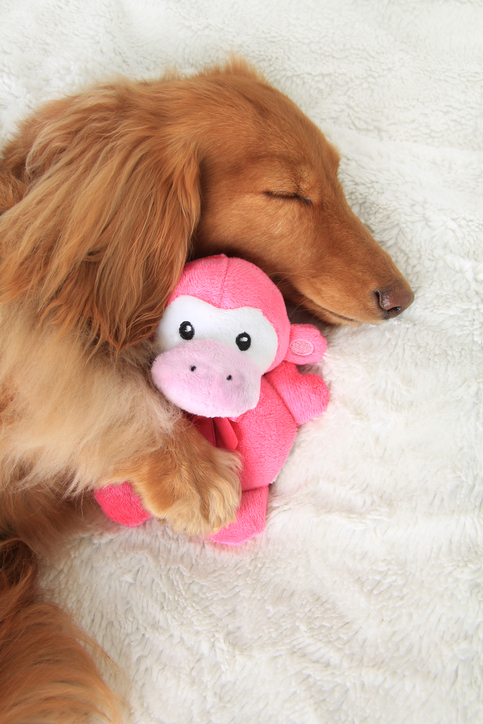Brown sleeping dog with paw on pink monkey cuddly toy