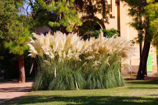 Cortaderia selloana Grass in the Park Citadel in Barcelona, Spain. The Park is also called Ciutadella Park. Barcelona is the capital of Catalonia